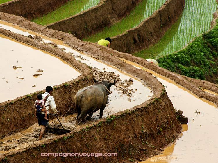 Herser-avant-de-cultiver-le-riz