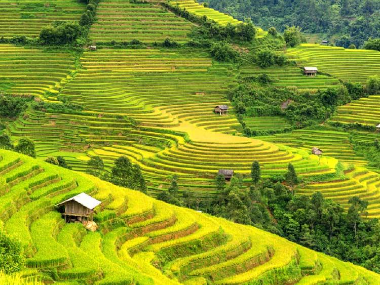 la récolte du riz à Puluong