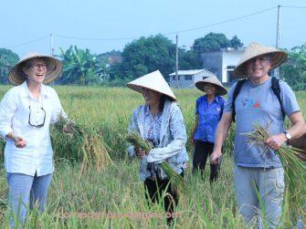 réculte du riz, activité typique au Nord vietnam