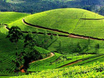 champs de thé à Nghia Lo